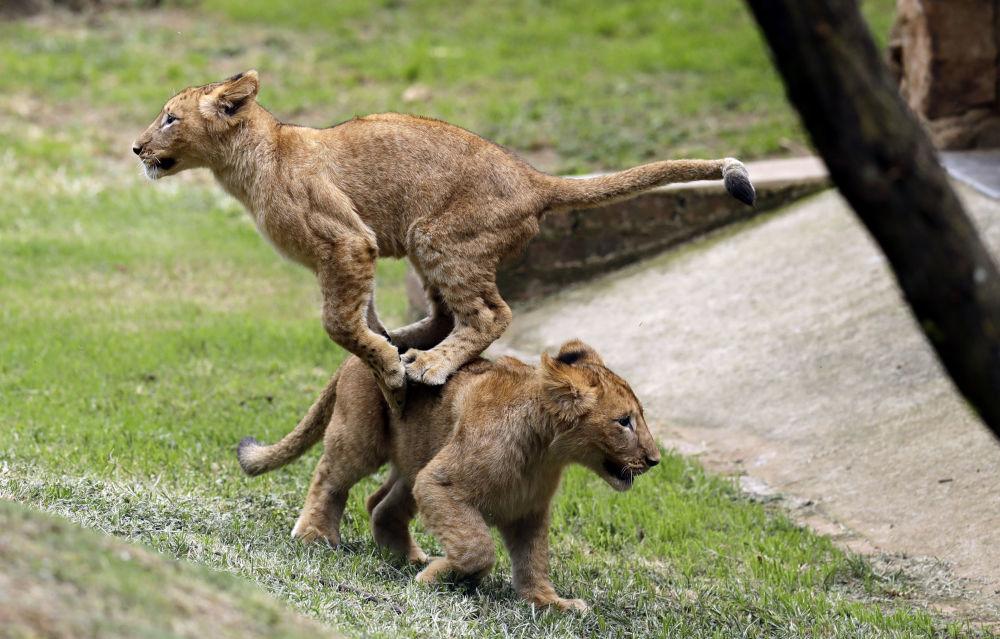 Dois filhotes de leão brincam no zoológico de Joanesburgo, África do Sul.