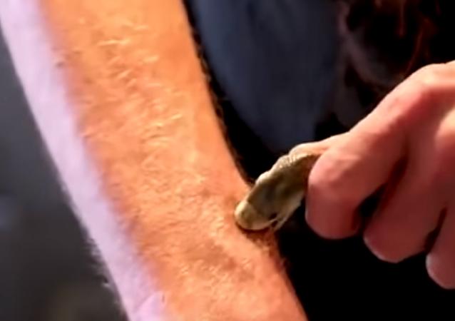 Experimento mortal: homem se deixa morder por cobra perigosíssima e sobrevive