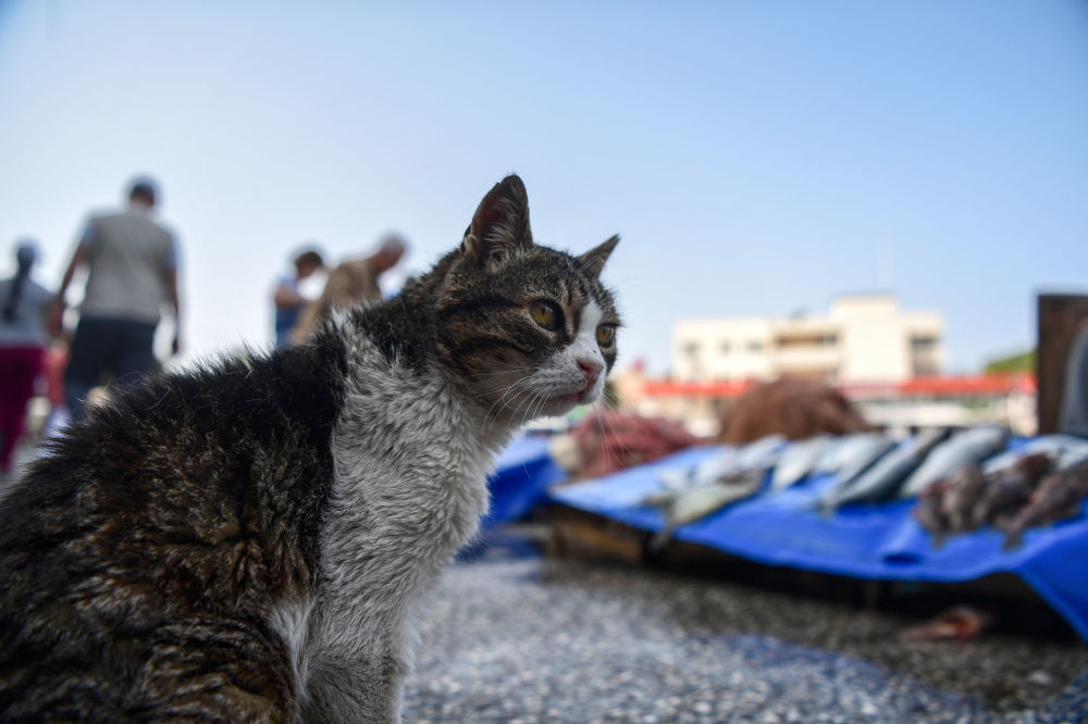 Um gato olhando para tendas com peixe fresco no porto da cidade de Foca, Turquia.