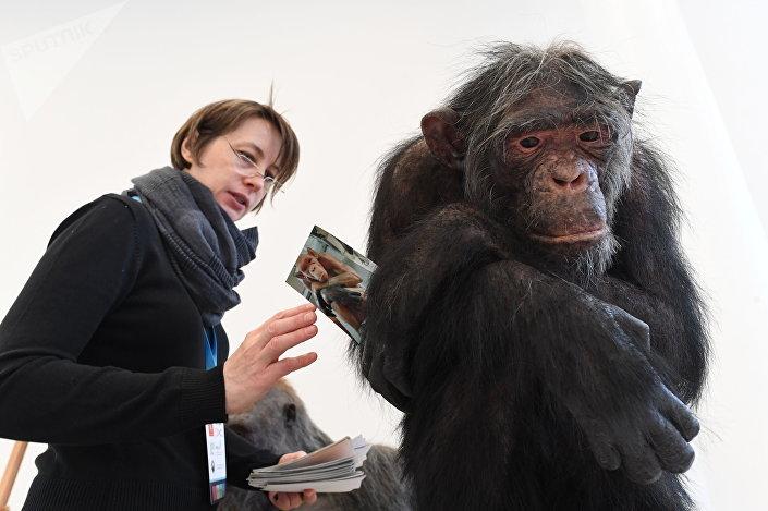 Reconstrução da espécie Homo naledi, apresentada na exposição O Dia do Elo Perdido: Homo naledi, em Moscou