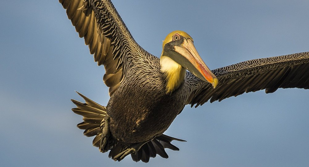 Pelicano (imagem referencial)