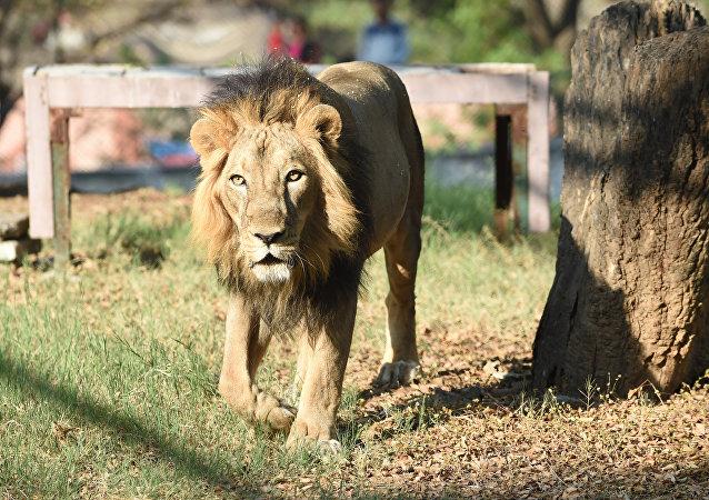 Leão asiático Amber passeia no recinto do Zoológico de Kamla Nehru em Ahmedabad, Índia, 10 de março de 2018