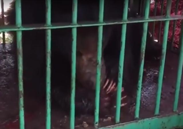 Selfie mortal: taxista morre ao tentar tirar foto com urso feroz (IMAGENS FORTES)