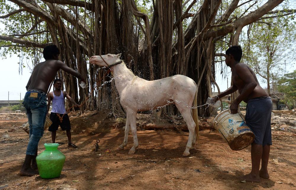 Indiano refresca seu cavalo em um dia de calor, em Chennai
