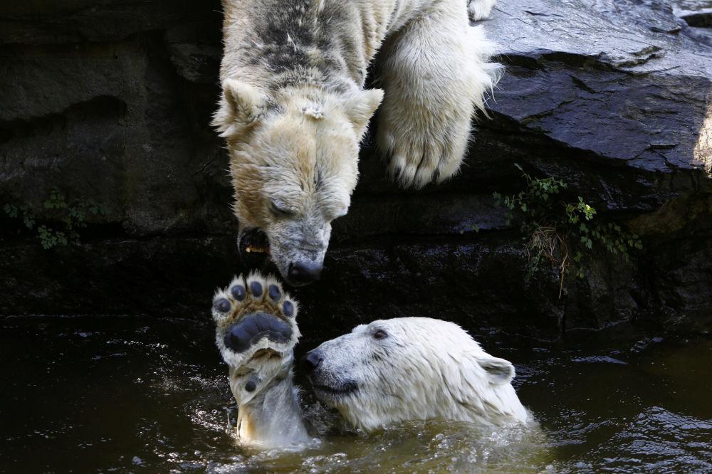 Ursos polares brincam na água em um jardim zoológico em Berlim, na Alemanha