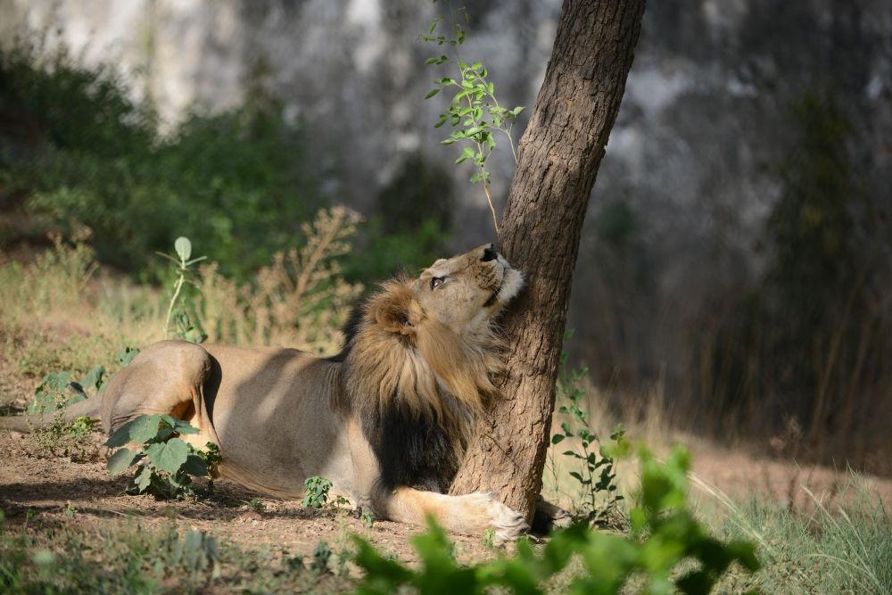 Leão asiático na sombra de uma árvore em um dia de calor no zoológico de Kamla Nehru, na Índia