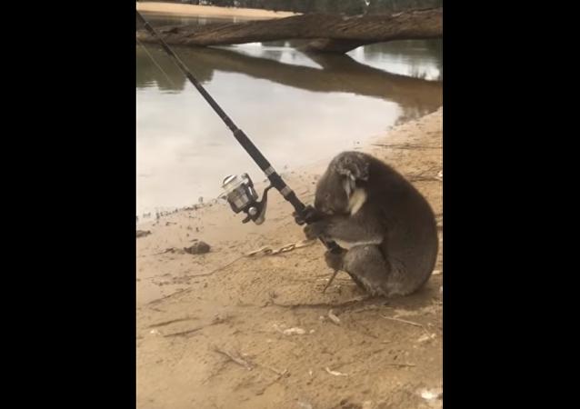 Coala pescando com vara
