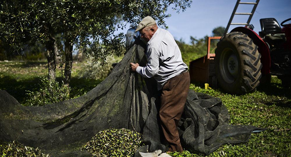 Homem durante colheita de olivas em Santarém, parte central de Portugal, foto de arquivo