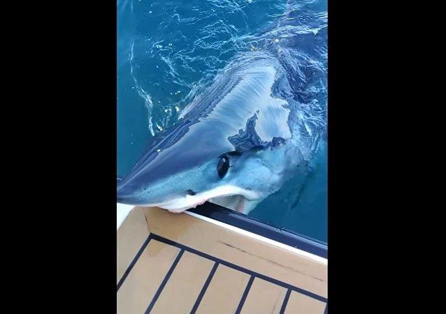 Tubarão enorme surge do nada e morde barco de mergulhador
