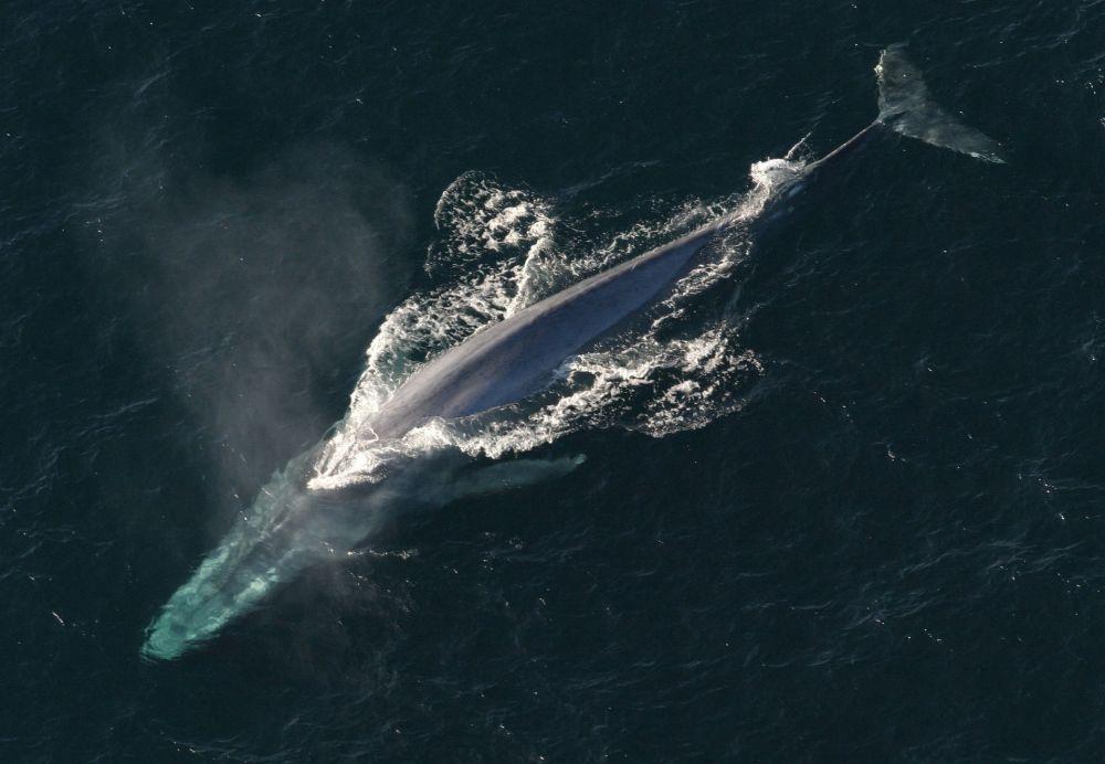 Baleia azul, o maior mamífero no mundo