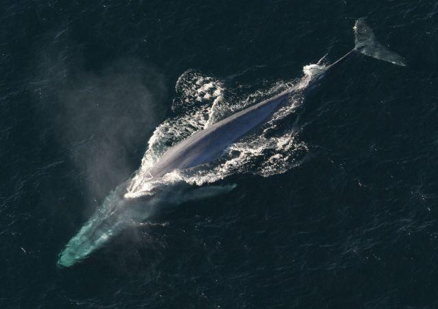 Baleia azul, o maior mamífero no mundo (imagem referencial)