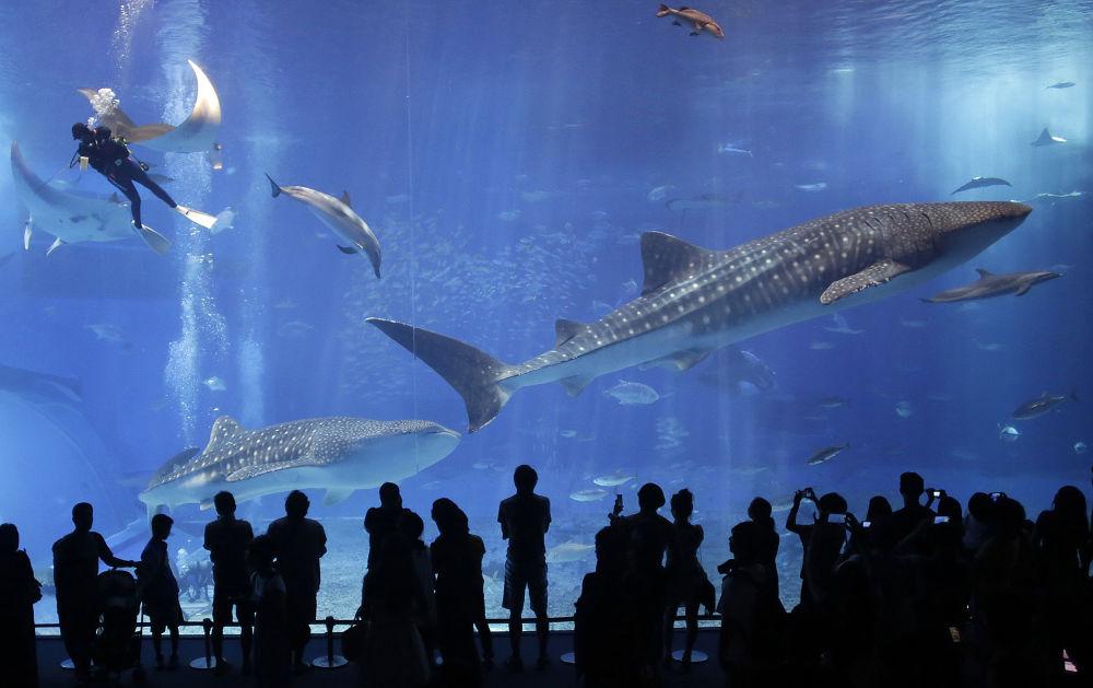 Visitantes observam tubarões-baleia em um oceanário no Japão
