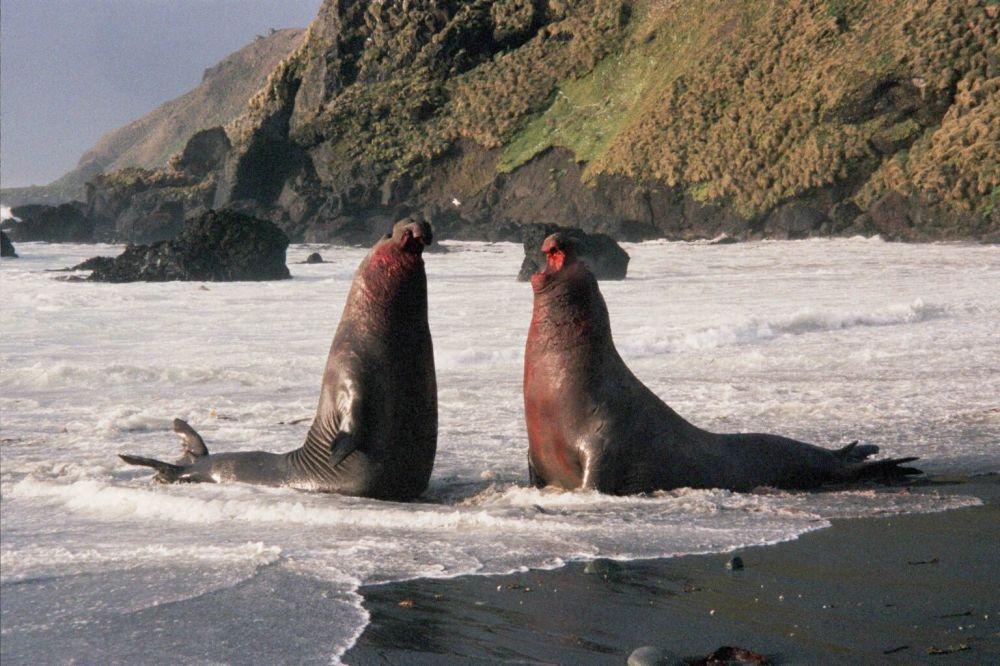 Briga entre dois elefantes-marinhos-do-sul