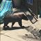 Urso nada em piscina