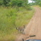 Filhotes de leopardo brincam com lagarto