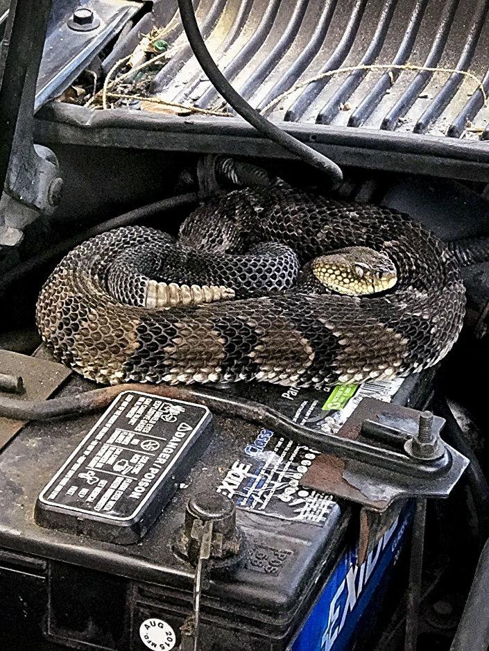 Cobra cascavel venenosa encontrada sob o capô de um veículo