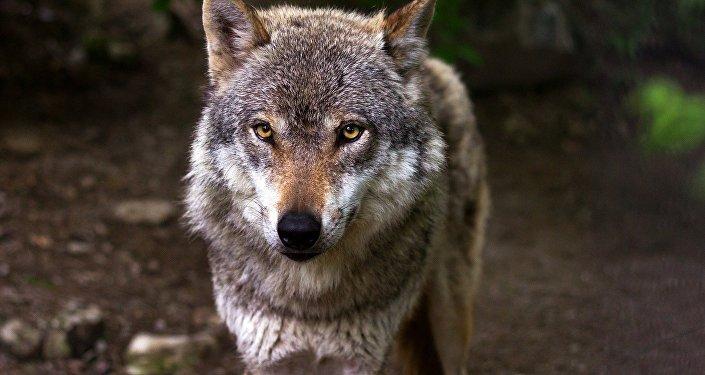 Um lobo