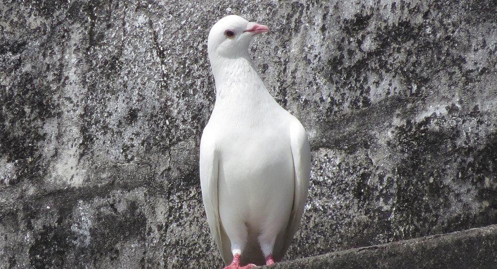 Pomba branca