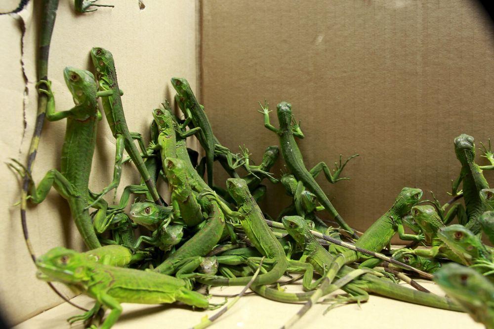 Filhotes de iguana resgatados na sede do Ministério do Meio Ambiente da Costa Rica em 25 de maio de 2015. As iguanas provavelmente tinham sido sujeitos a comércio ilegal.