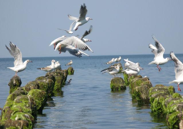 Gaivotas no mar Báltico
