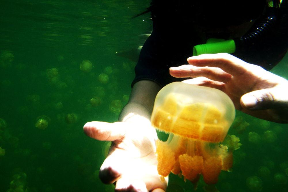 Devido ao fato das medusas não representarem nenhum perigo, muitas pessoas aproveitam essa rara oportunidade de tocá-las com suas próprias mãos