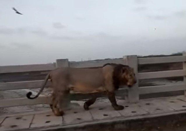 Leão passeia por ponte perto de Raichur, na Índia
