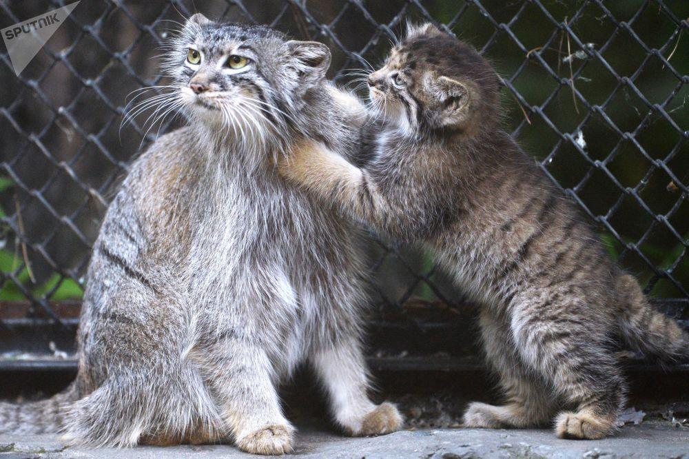 Filhotes de gato-de-pallas em um jardim zoológico em Novossibirsk, na Rússia