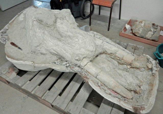 Crânio de antigo mastodonte no Museu de História Natural de Toulouse, França
