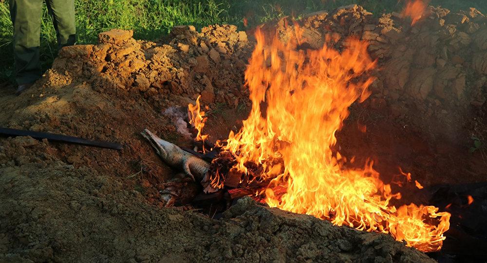 Moradores do povoado indonésio de Sorong queimam cadáveres de crocodilos mortos