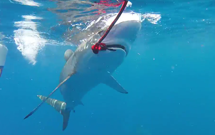 Isca é devorada em segundos e pescadores amadores acabam sem nada