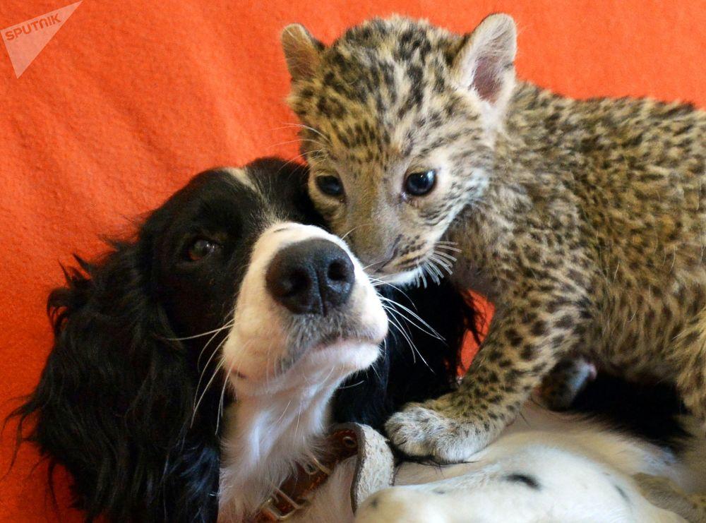 Cachorra Sheri e o leopardo bebé Stephany que ela adotou.