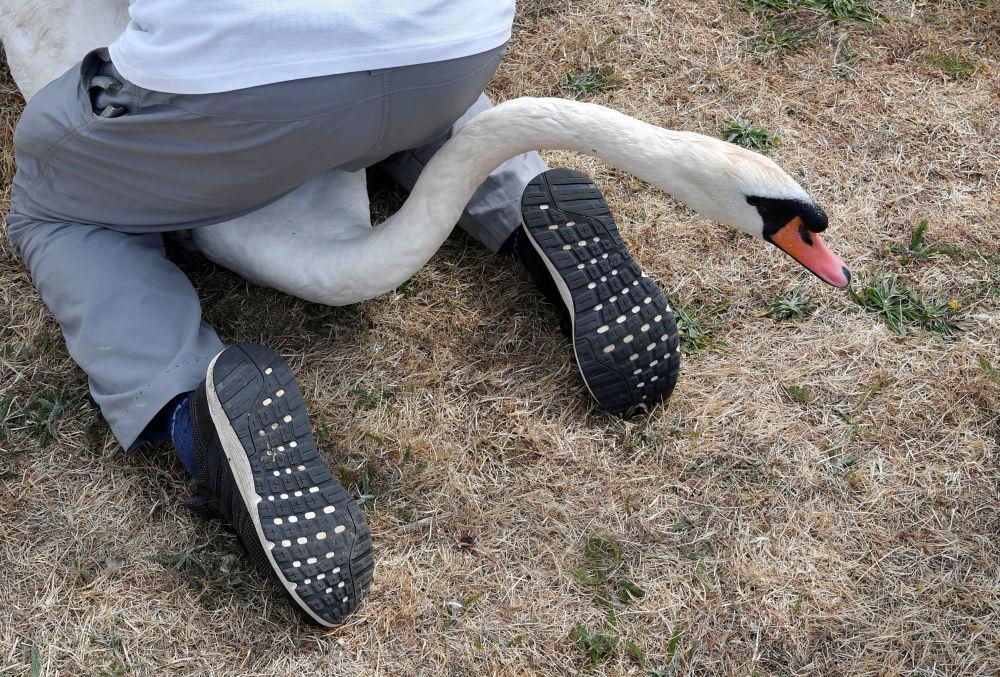 Especialistas examinando e registrando cisnes no âmbito do censo anual de cisnes-brancos ao longo do rio Tâmisa, Reino Unido.