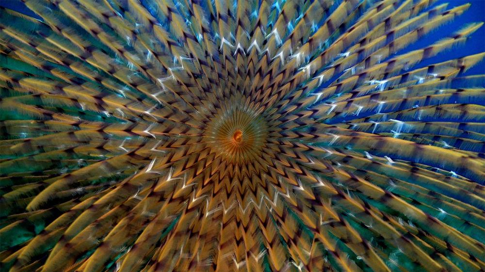 Spirographis, pertencente a um gênero de Anelídeos e fotografado por pesquisadores da expedição, é muito semelhante a um desenho geométrico complexo