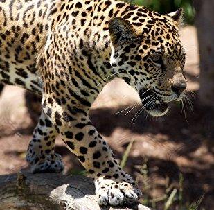 Leopardo (imagem ilustrativa)