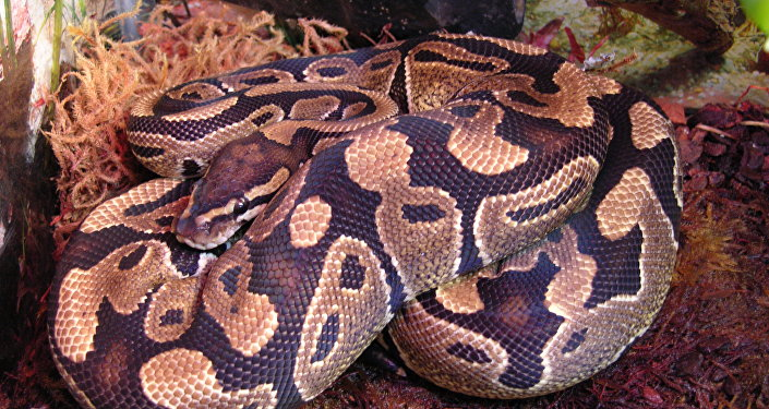 Píton-real (Python regius) (imagem referencial)