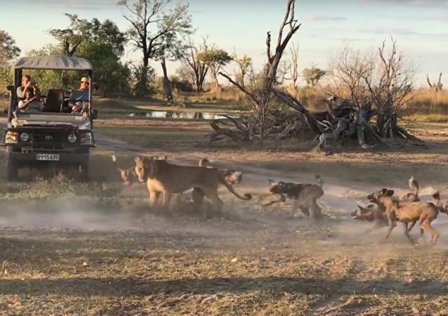Leoa repele ataque de cães-selvagens protegendo seu filhote