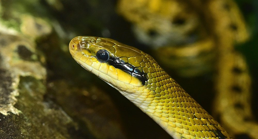 Serpente taiwanesa