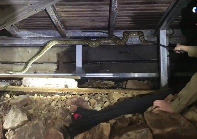 Encontre-me se puder: enorme píton é retirada debaixo de casa na Austrália