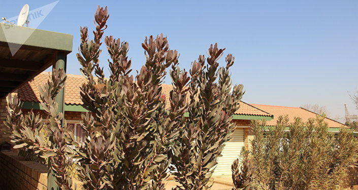 Protea, planta típica sul-africana, em Kleinfontein