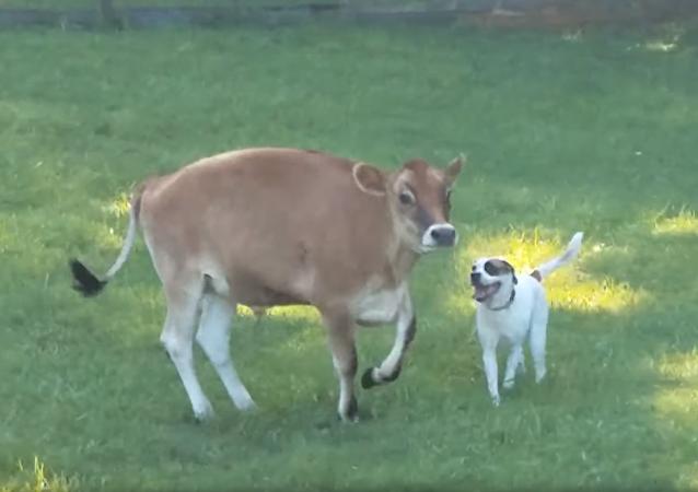 Cachorro e vaca brincam em santuário para animais