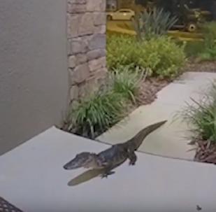 Aligátor chega à noite e apavora família na Flórida