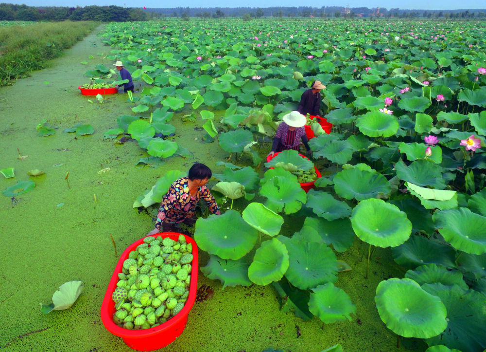 Trabalhadores recolhem sementes de lótus na China
