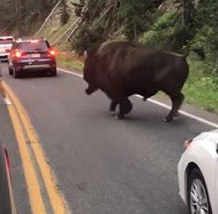 Homem enfrenta bisão que atrapalha trânsito