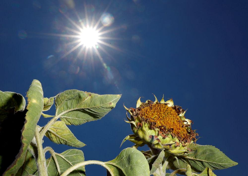 Girassol secado pelo Sol em um campo perto da cidade alemã de Breydin
