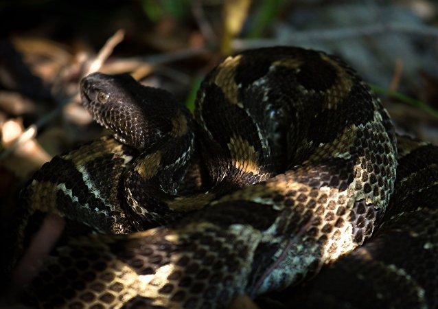 Cobra-cascavel-da-mata (Crotalus horridus) (imagem referencial)