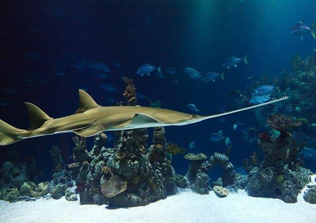 Peixe-serra no mar (imagem referencial)