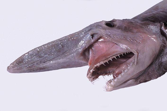 Mitsukurina owstoni ou tubarão-duende