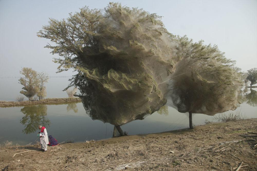 Devido ao inesperado efeito colateral das inundações no Paquistão, milhões de aranhas subiram para as árvores e criaram redes para se proteger da catástrofe