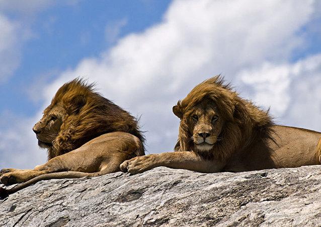 Leões na pedra
