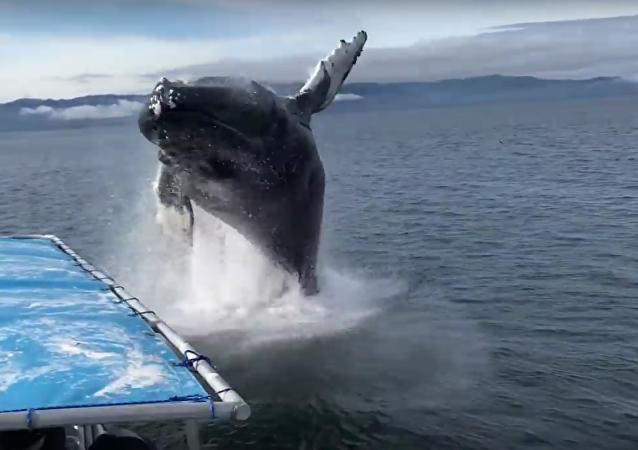 Leviatã sai da água: baleia deixa turistas todos molhados